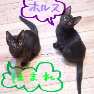金眼の黒猫♡3.5ヶ月仲良し兄弟ホルスほまれ