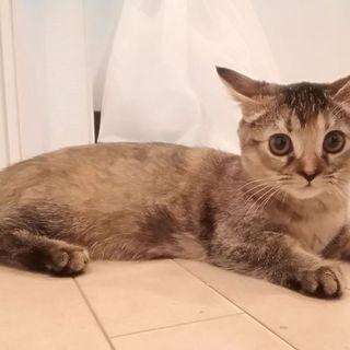 生後四ヵ月のマンチカン、雌の可愛い子猫です。