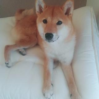 0歳の柴犬