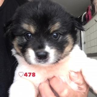 ♡478 一か月ちょっとのモフモフ子犬