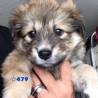 ☆479 シェルティっぽいフサフサ子犬