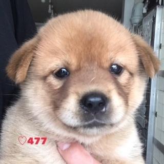♡477 柴っぽい子犬ちゃん