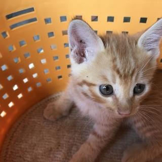 生後1ヶ月かわいい茶トラ猫