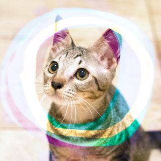 ぬいぐるみ猫♡ネアン3.5ヶ月かぎしっぽキジトラ