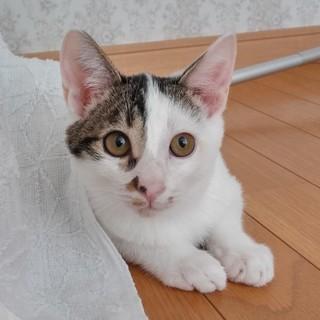 生後3か月 甘えん坊の肩乗りニャンコ ポコちゃん