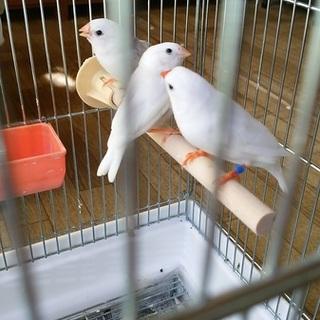 白錦華鳥の幼鳥、里親募集
