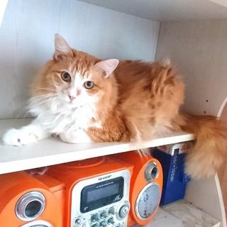 人見知りだけど綺麗な長毛猫さん