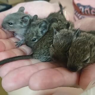 H30.7.20生まれ、デグーマウスの赤ちゃん!