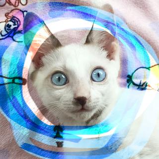 3ヶ月♡シャムMIX甘えん坊ブルーアイ♂抱っこ猫