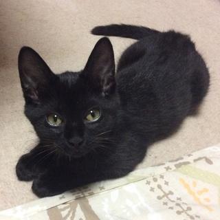 <トライアル中>先住猫歓迎!元気な黒猫
