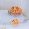 育てやすくキュートなツノガエル