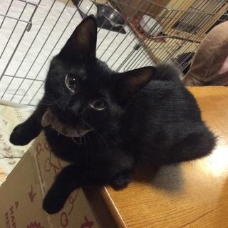<里親様決定>お腹がビキニ柄の黒猫