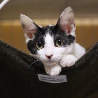 控えめな美形の白黒猫・サキちゃん