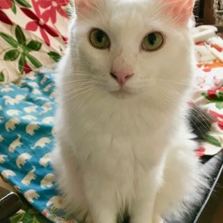 白猫長毛 オコジョ猫 バル男