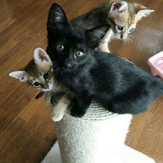 播州の知恵者兄弟 アビシニアンMIX&可愛い黒猫
