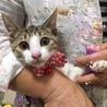 美人な三毛猫☆ノエルちゃん 4ケ月 サムネイル2