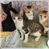 美人な三毛猫☆ノエルちゃん 4ケ月 サムネイル5