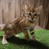 ベンガル子猫:男の子::2ヶ月:血統書付き