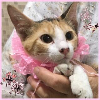 キジ三毛の可愛い女の子☆チャーミーちゃん 4ケ月