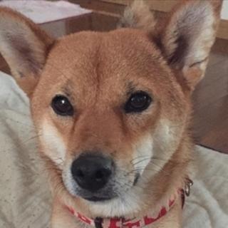 柴犬系のミックス犬