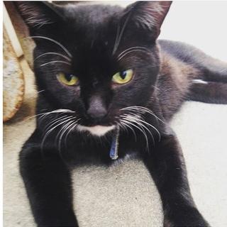 人なつこい首輪をした黒猫くんを保護してます