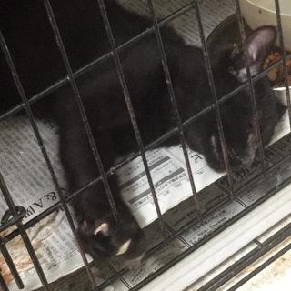 【保健所収容】黒猫くん 3〜4ヶ月