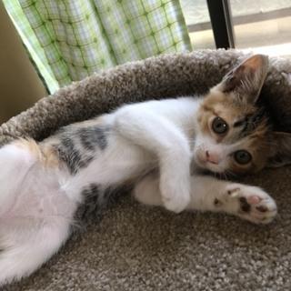 人懐こい2ヶ月の三毛猫ちゃん
