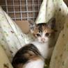人懐こい2ヶ月の三毛猫ちゃん サムネイル3
