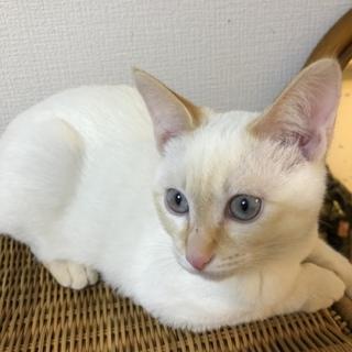 7ヶ月の子猫。白とベージュのブルーアイ  の男の子