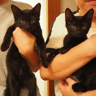 抱っこ大好き♪ そっくり双子の黒猫兄弟