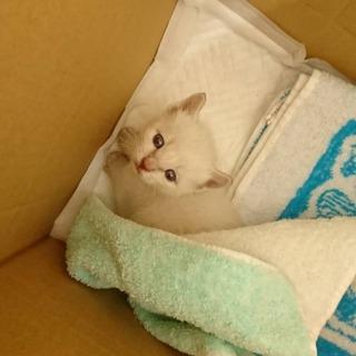 シャム系 白色子猫のリリーちゃん