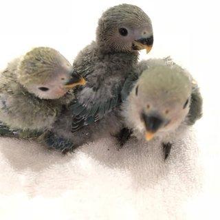 【締切】コザクラインコの雛4羽の里親募集