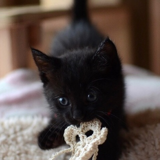 ムチムチコロコロ黒猫【静凪】