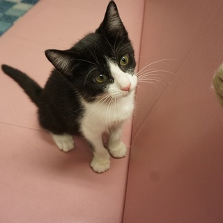 猫も人間も大好き♪ 綺麗な小柄ハチワレ子猫