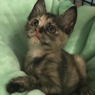 綺麗なサビ柄のふわふわ子猫