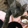 永遠の甘えん坊さん♪ サビ?麦わら色の子猫 サムネイル2