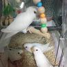 コザクラインコの幼鳥
