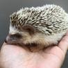 ハリネズミメス 1歳半位 自家繁殖個体です。