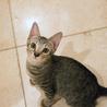 ぬいぐるみ猫♡ネアン4ヶ月ベンガル風キジトラ サムネイル6