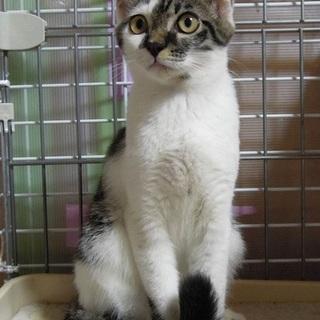 クッキーは、遊びたい盛りの可愛い子猫です。