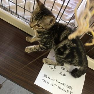 ほぼアメショ^_^ みかんちゃん