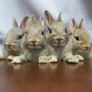 ネザーランドドワーフ 子ウサギ 4→3→1羽