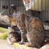 小麦ママとアメショー柄の可愛い子猫たち