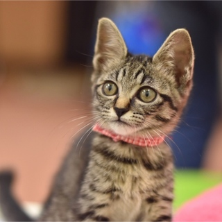 瞳の大きな美猫【蘭ちゃん】