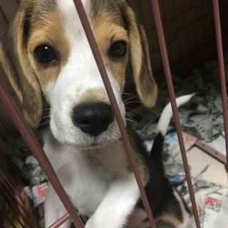 【3ヶ月】ビーグルの子犬の里親を募集しております。