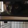 ちょっとビビりな生後3ヶ月黒猫の女の子 サムネイル6