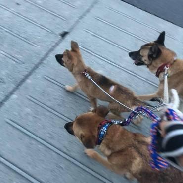 プリン君、しもみちゃん、Ed、下津井犬3頭のお散歩