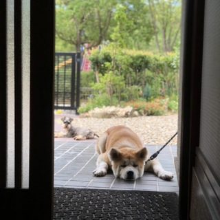 賢くておっとり寄り目の秋田犬 マルちゃん 女の子