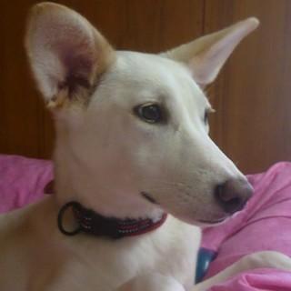 推定8ヶ月・白いmix♀中型犬・室内飼い