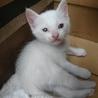 白猫。「幸」と書いてゆき*♀